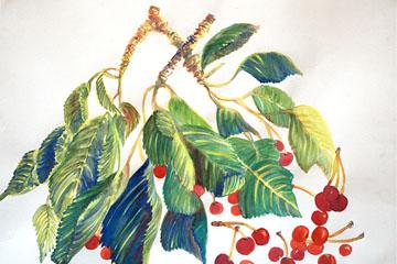 Cerezo y fruto